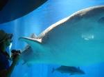 Whale Shark, Osaka Aquarium